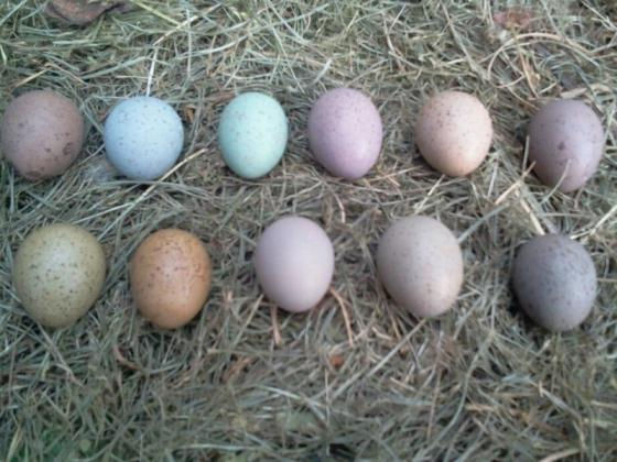 parrot eggs hatching